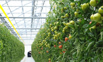 独自の栽培方法で管理された25,000坪の大型プラント。|スーパーフルーツトマト NKKアグリドリーム
